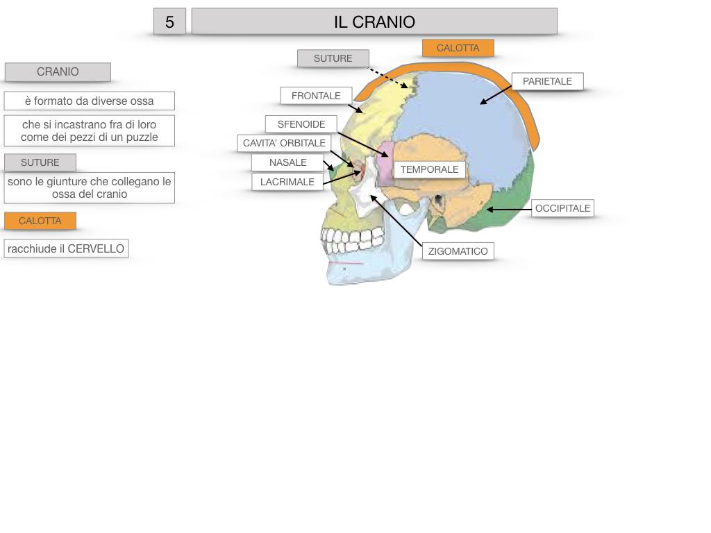 8. LE OSSA DEL CRANIO E DENTI_SIMULAZIONE.017