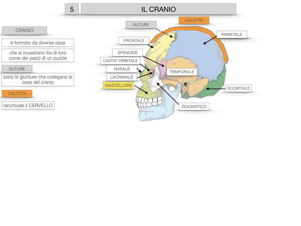8. LE OSSA DEL CRANIO E DENTI_SIMULAZIONE.018