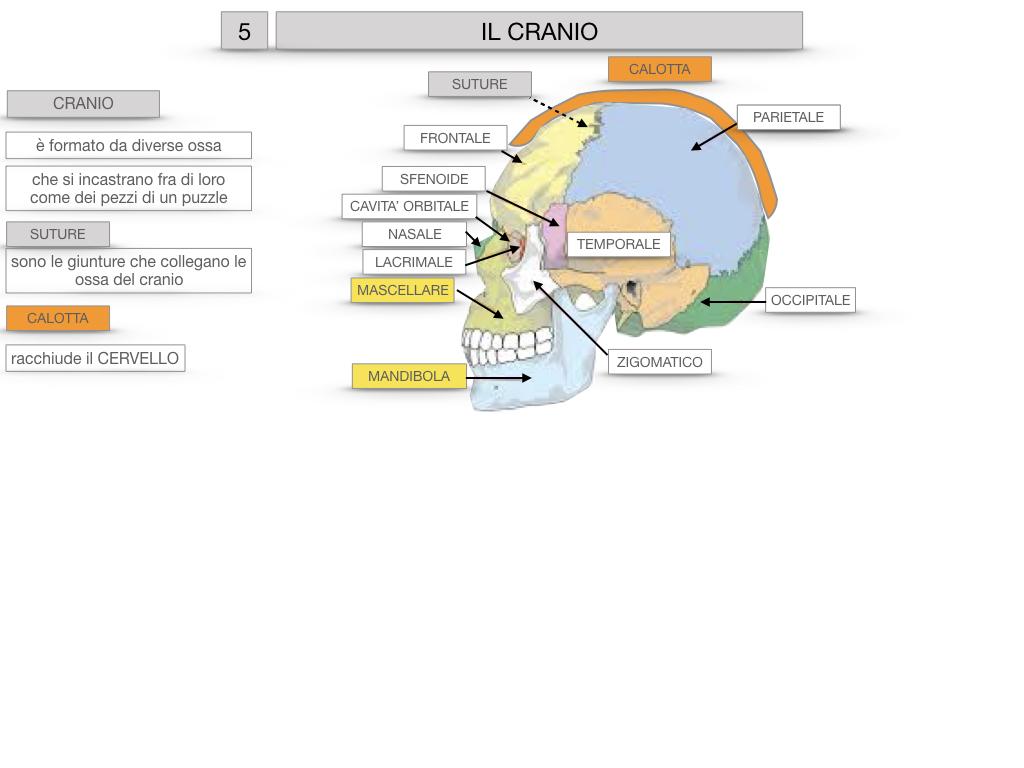 8. LE OSSA DEL CRANIO E DENTI_SIMULAZIONE.019