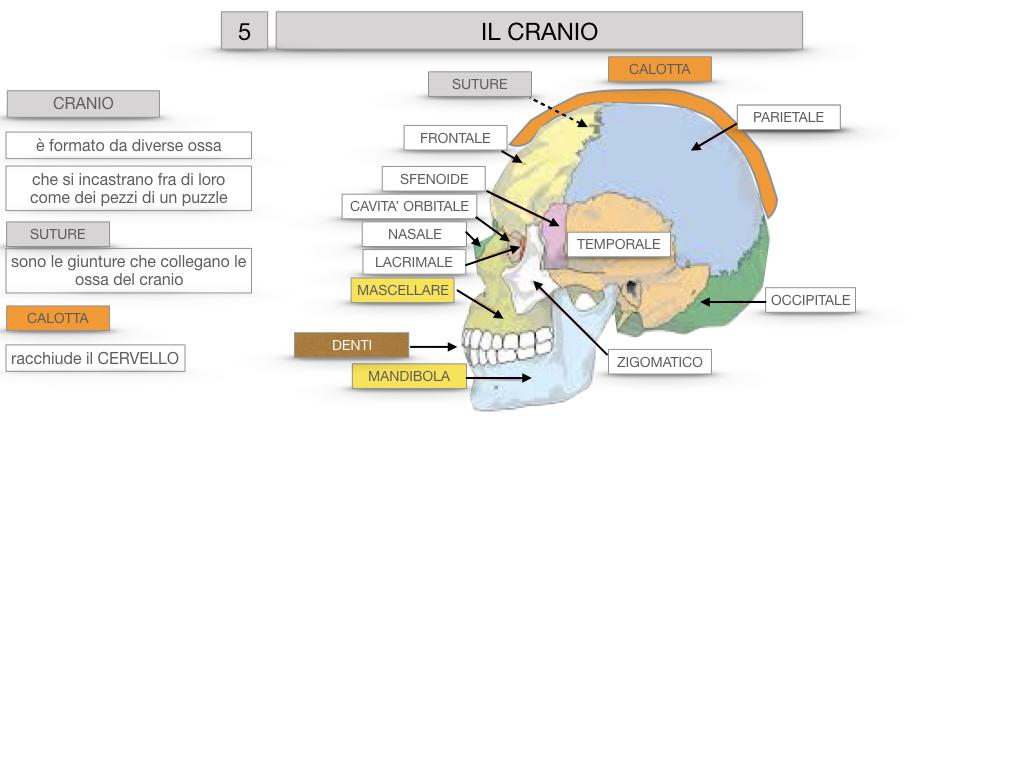 8. LE OSSA DEL CRANIO E DENTI_SIMULAZIONE.020
