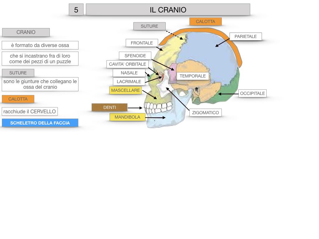 8. LE OSSA DEL CRANIO E DENTI_SIMULAZIONE.021