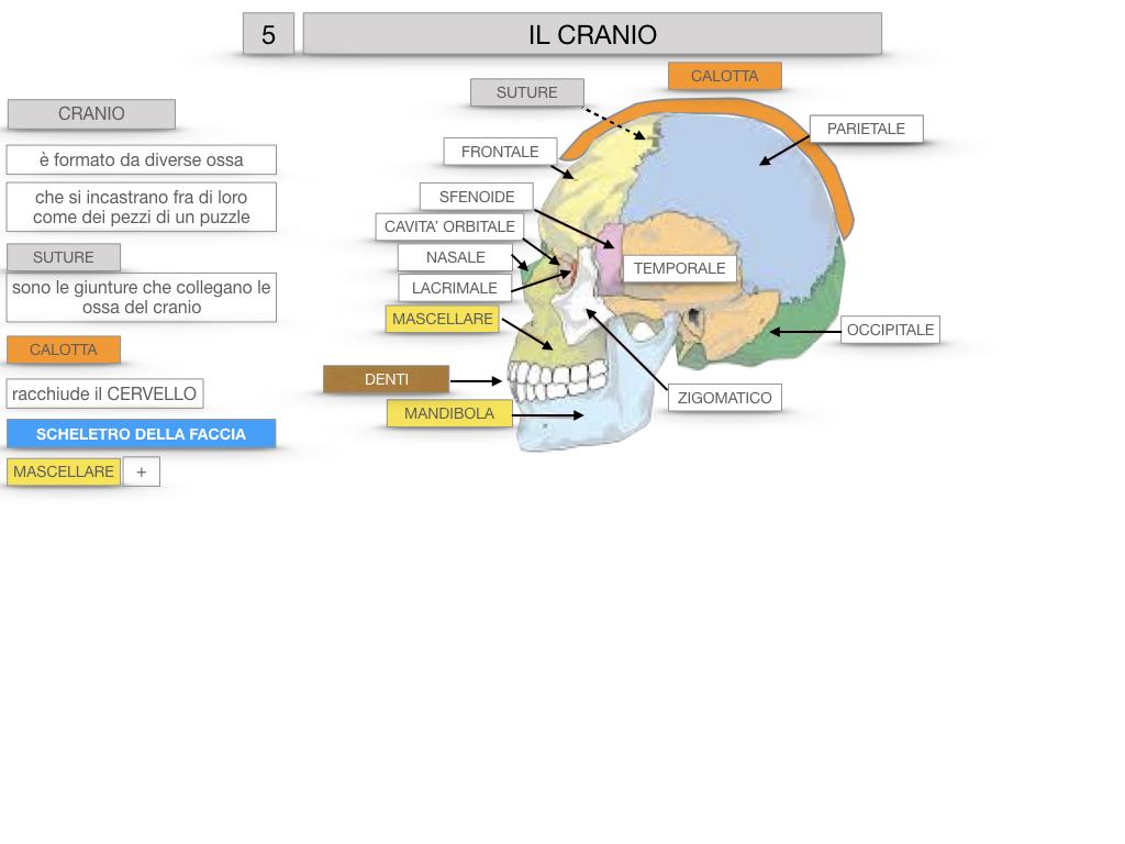 8. LE OSSA DEL CRANIO E DENTI_SIMULAZIONE.022