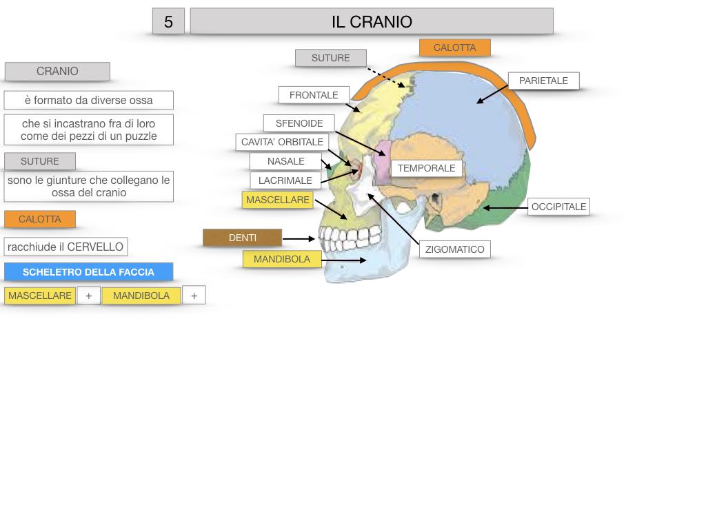 8. LE OSSA DEL CRANIO E DENTI_SIMULAZIONE.023