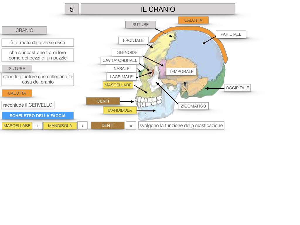 8. LE OSSA DEL CRANIO E DENTI_SIMULAZIONE.024